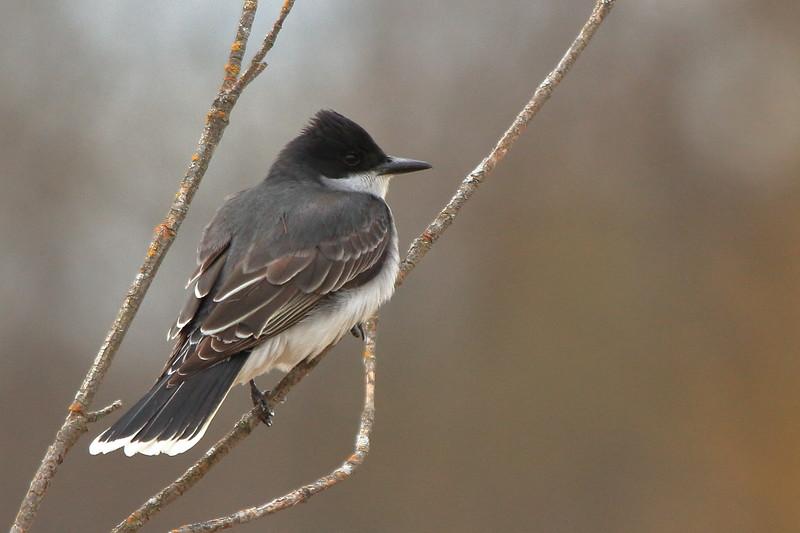 Eastern Kingbird- Necedah NWR