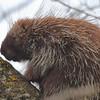 North American Porcupine- Necedah NWR