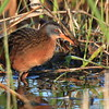 Virginia Rail- Necedah NWR