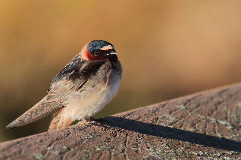 Barn Swallow(juvenile)- Necedah NWR