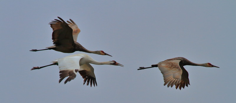 Sandhill Cranes and Whooping Crane- Necedah NWR