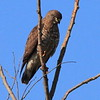 Broad-winged Hawk- Necedah NWR