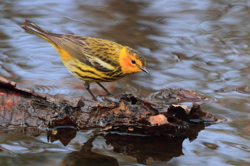 Cape May Warbler- Necedah NWR