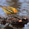 Cape May Warbler- Necedah NWR