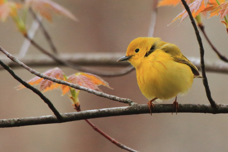 Yellow Warbler- Necedah NWR