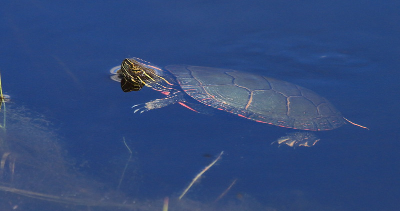 Painted Turtle- Necedah NWR