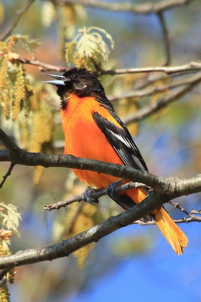 Baltimore Oriole- Necedah NWR