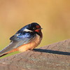 Barn Swallow- Necedah NWR