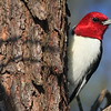 Red-headed Woodpecker- Necedah NWR