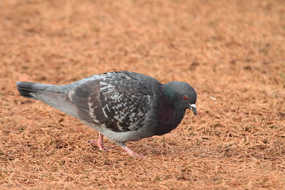 Rock Pigeon- Canal Park