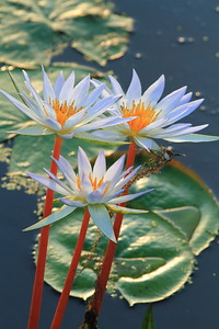 Water Lily- Anahuac NWR