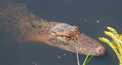 Alligator- Anahuac NWR