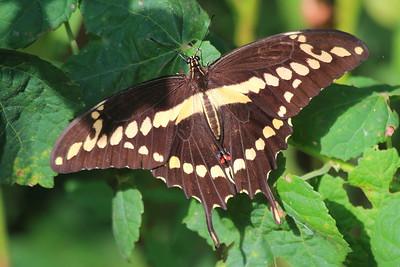 Giant Swallowtail- Anahuac NWR
