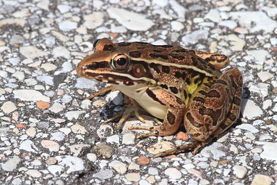 Southern Leopard Frog- Anahuac NWR