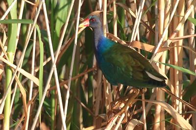 Purple Gallinule- Anahuac NWR