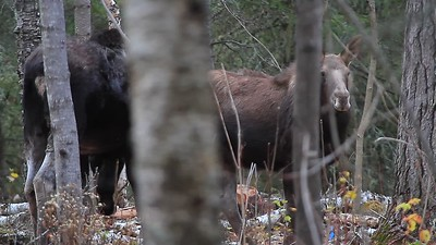 Mama moose and baby- Gunflint Trail