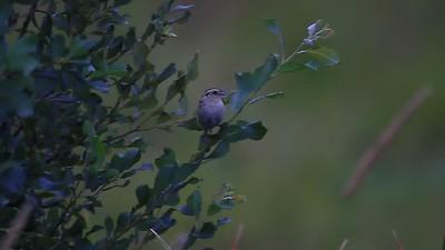 LeContes  Sparrow- Sax Zim Bog