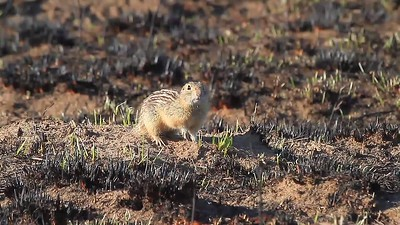 Thirteen-lined Ground Squirrel Video