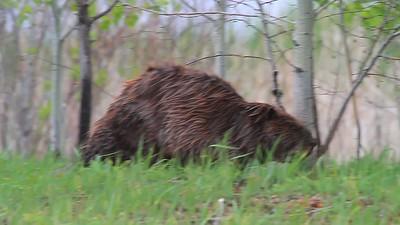 American Beaver on picnic- Sherburne NWR