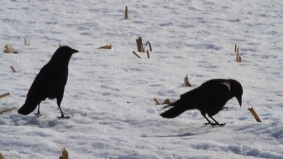 Crows- Livonia Township
