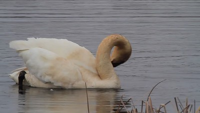 Trumpeter Swans Video