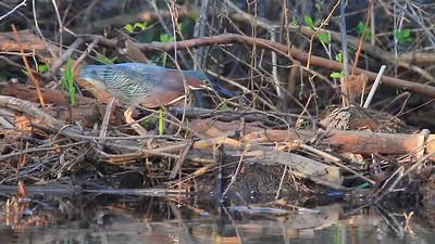 Green Heron video- Sherburne NWR