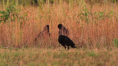 Crows(hunting grasshoppers)- Back Yard