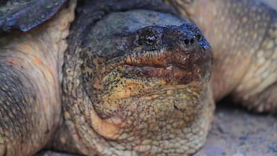 Snapping Turtle- Sherburne NWR