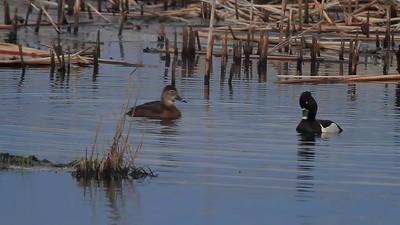 Ring-necked Duck video- Sherburne NWR