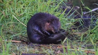 Beaver Grooming- Sherburne NWR