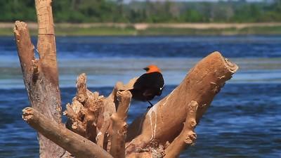 Yellow-headed Blackbird- Pelican Lake