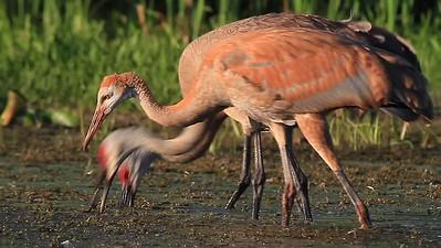 Sandhill Cranes feeding- Pelican Lake