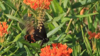 Black Swallowtail- Sherburne NWR