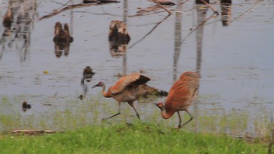 Sandhill Cranes- Sherburne NWR