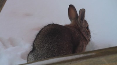 Shed Bunny