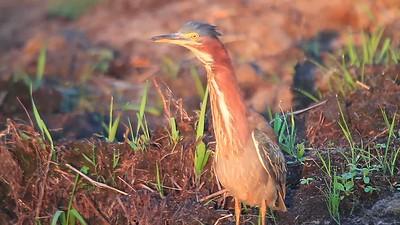 Green Herons- Sherburne NWR