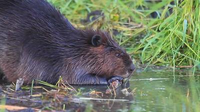 Beavers Eating- Sherburne NWR