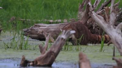 Raccoon- Pelican Lake