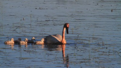 Trumpeter Swan Family- Sherburne NWR