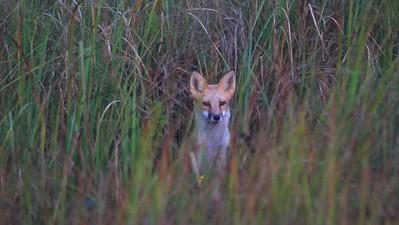 Red Fox- Crex Meadows WMA
