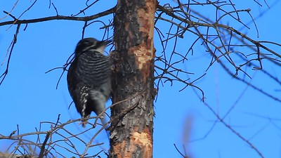 Black-backed & American Three-toed Woodpeckers- Tower, MN