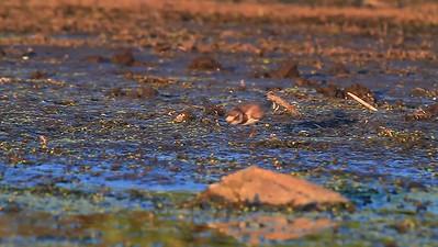 Semi-Palmated Plover- Pelican Lake