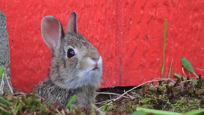 Shed Bunny video 2