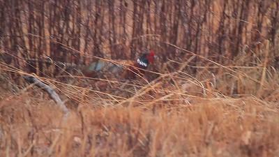 Ring-necked Pheasant- Crex Meadows WMA