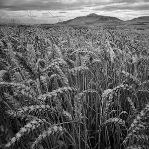 West Lomond and Wheat