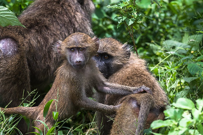 Bright-eyed Baboon