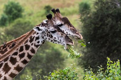 Giraffes in stereo