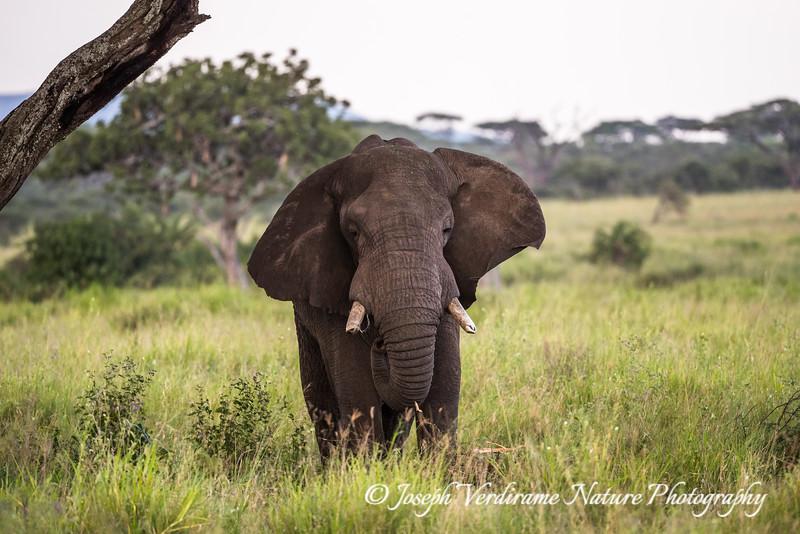Serengeti Old Timer