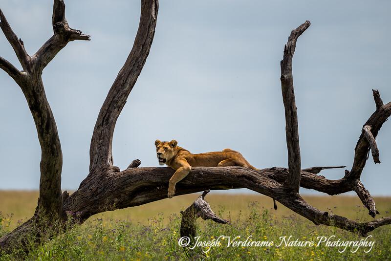 Serengeti Queen on her throne
