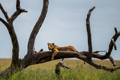 Serengeti Queen on her throne